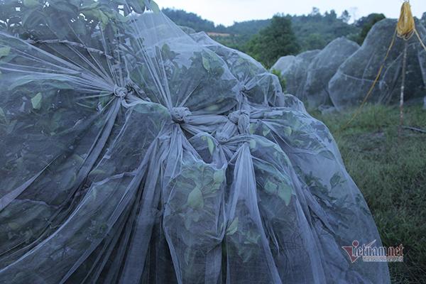 Đồi cam 6 tỷ kỳ lạ nhất Việt Nam, 2.000 cây mắc màn trắng cả rừng-5