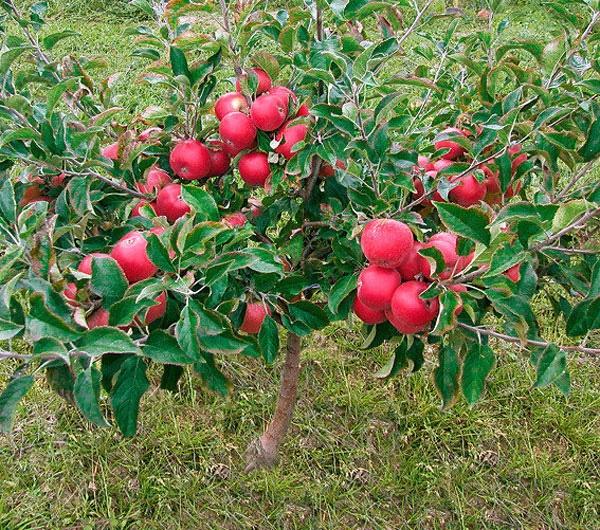 Chị em phấn khích với giống táo vỏ đỏ, ruột cũng đỏ mà lại không phải là quả biến đổi gen-1
