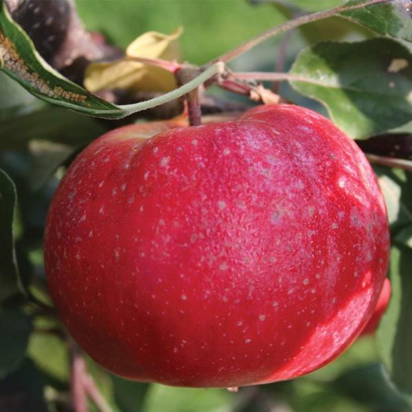 Chị em phấn khích với giống táo vỏ đỏ, ruột cũng đỏ mà lại không phải là quả biến đổi gen-5