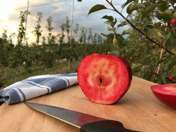 Chị em phấn khích với giống táo vỏ đỏ, ruột cũng đỏ mà lại không phải là quả biến đổi gen-6
