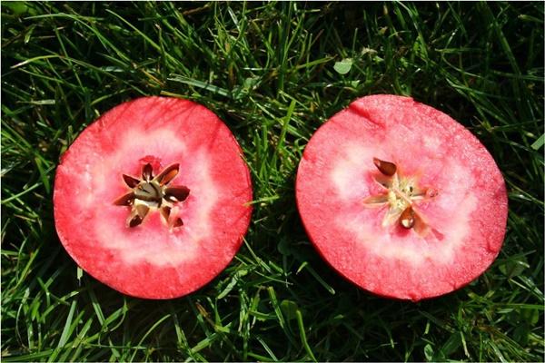 Chị em phấn khích với giống táo vỏ đỏ, ruột cũng đỏ mà lại không phải là quả biến đổi gen-8