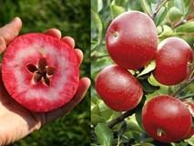 Chị em phấn khích với giống táo vỏ đỏ, ruột cũng đỏ mà lại không phải là quả biến đổi gen