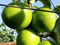 Trai Bắc Giang trồng táo mật xanh giòn, bán 20.000 đồng 1 quả
