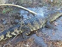 Người dân hoảng hốt phát hiện cá sấu dài gần 2m, nặng 20kg trên Quốc lộ 1A