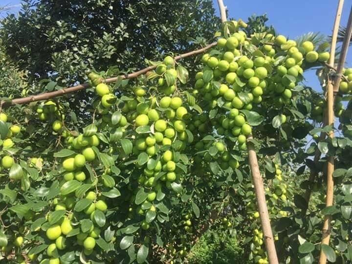 Biến cây táo dại đầy gai thành đặc sản thu 60 tỷ mỗi năm-2