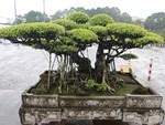Khách trả 1 triệu USD đổi lấy cây sanh cổ, chủ nhân quyết không bán-7