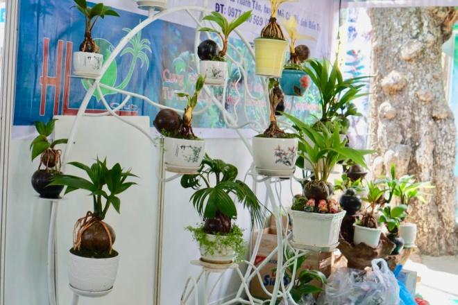 Xuất hiện dừa bonsai đột biến 2 màu cực lạ, hàng độc chơi Tết-3