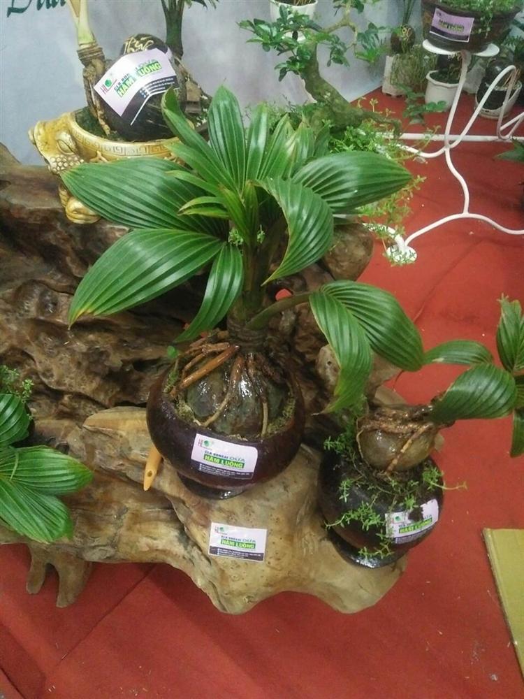 Xuất hiện dừa bonsai đột biến 2 màu cực lạ, hàng độc chơi Tết-4