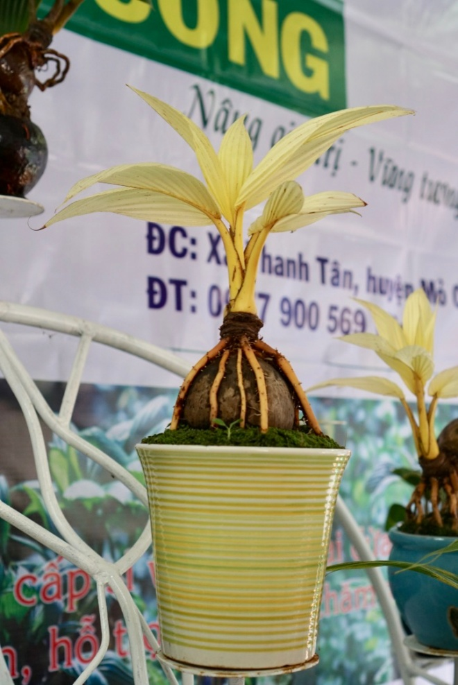 Xuất hiện dừa bonsai đột biến 2 màu cực lạ, hàng độc chơi Tết-7