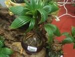 Giá đắt đỏ tiền triệu, nấm linh chi bonsai vẫn hút khách-10