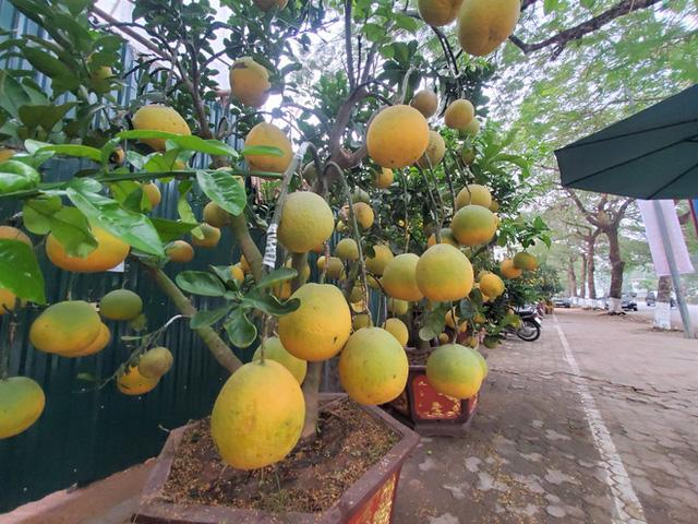 Ngắm vườn bưởi cảnh chơi Tết bạc tỷ ở Hà Nội, 40 triệu đồng/cây 120 quả-1