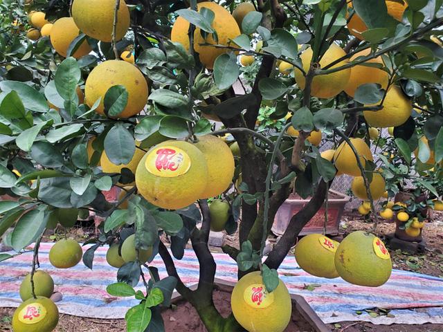 Ngắm vườn bưởi cảnh chơi Tết bạc tỷ ở Hà Nội, 40 triệu đồng/cây 120 quả-2