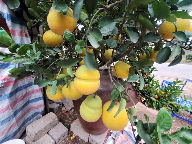Ngắm vườn bưởi cảnh chơi Tết bạc tỷ ở Hà Nội, 40 triệu đồng/cây 120 quả-3