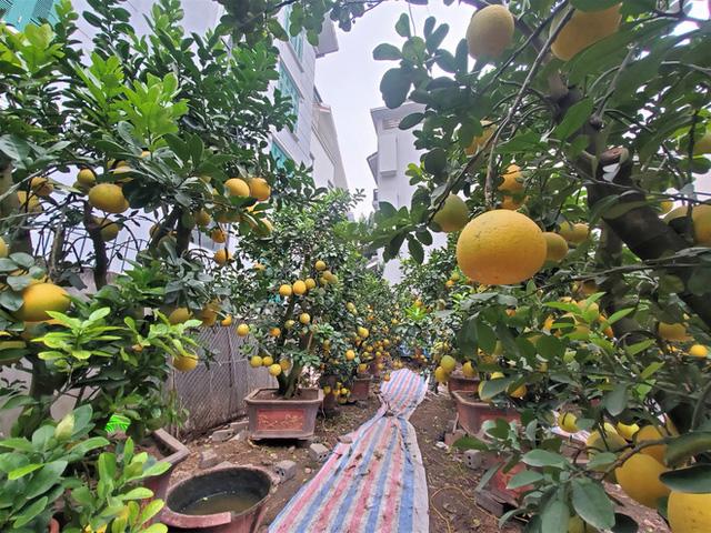 Ngắm vườn bưởi cảnh chơi Tết bạc tỷ ở Hà Nội, 40 triệu đồng/cây 120 quả-5