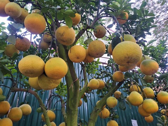 Ngắm vườn bưởi cảnh chơi Tết bạc tỷ ở Hà Nội, 40 triệu đồng/cây 120 quả-6