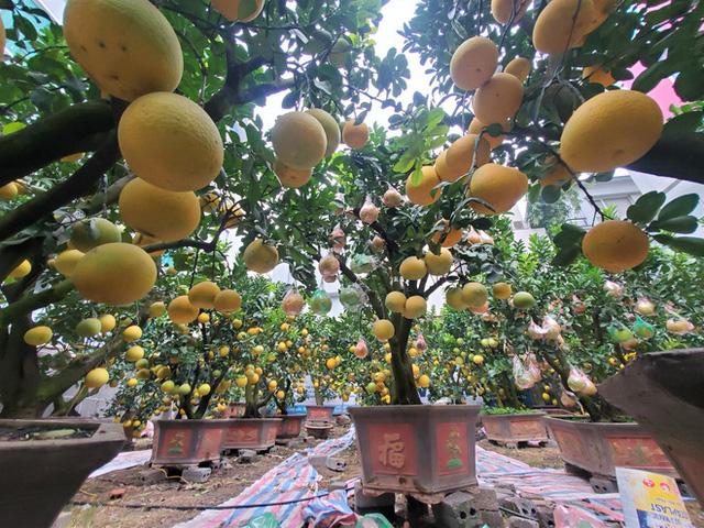 Ngắm vườn bưởi cảnh chơi Tết bạc tỷ ở Hà Nội, 40 triệu đồng/cây 120 quả-7