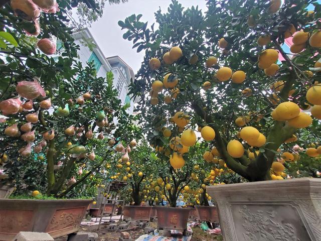 Ngắm vườn bưởi cảnh chơi Tết bạc tỷ ở Hà Nội, 40 triệu đồng/cây 120 quả-8