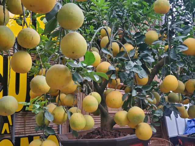 Ngắm vườn bưởi cảnh chơi Tết bạc tỷ ở Hà Nội, 40 triệu đồng/cây 120 quả-9
