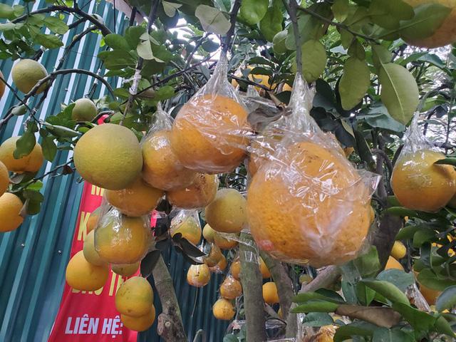 Ngắm vườn bưởi cảnh chơi Tết bạc tỷ ở Hà Nội, 40 triệu đồng/cây 120 quả-10