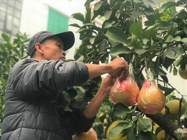 Ngắm vườn bưởi cảnh chơi Tết bạc tỷ ở Hà Nội, 40 triệu đồng/cây 120 quả-11
