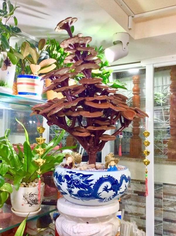 Giá đắt đỏ tiền triệu, nấm linh chi bonsai vẫn hút khách-1