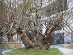 Chưa nở hoa, cây bạch đào độc nhất tại Nhật Tân vẫn được trả giá thuê 40 triệu-4