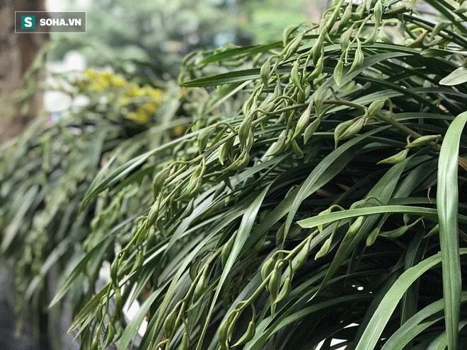Hơn 300 triệu 1 chậu hoa lan Trần Mộng, đại gia có tiền cũng không mua được vì cháy hàng-2
