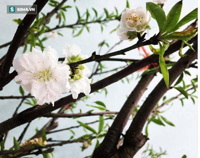 Chưa nở hoa, cây bạch đào độc nhất tại Nhật Tân vẫn được trả giá thuê 40 triệu-3