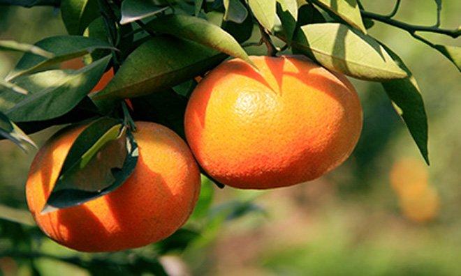Mua cam Canh chỉ cần thuộc những đặc điểm này, đảm bảo cam mua chuẩn ngon, ngọt sắc-4