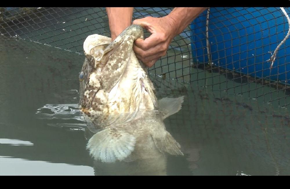 Chuyện về chú cá song kỳ lạ rất thích được đánh răng ở Quảng Ninh-1