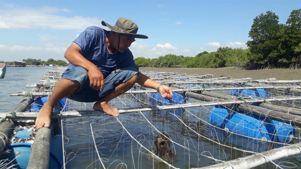 Liều nuôi loài hàu dễ chết sớm ở sông Cửa Lấp thu 4 tỷ/năm-1