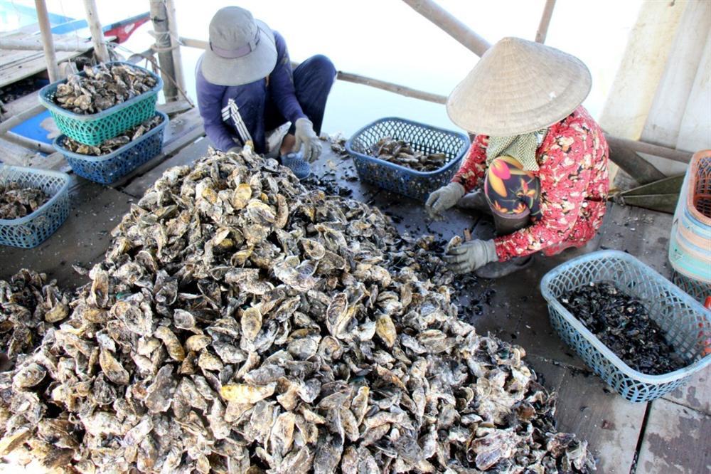 Liều nuôi loài hàu dễ chết sớm ở sông Cửa Lấp thu 4 tỷ/năm-2