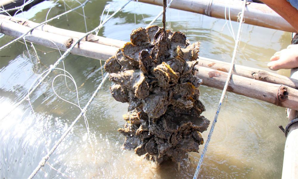 Liều nuôi loài hàu dễ chết sớm ở sông Cửa Lấp thu 4 tỷ/năm-3