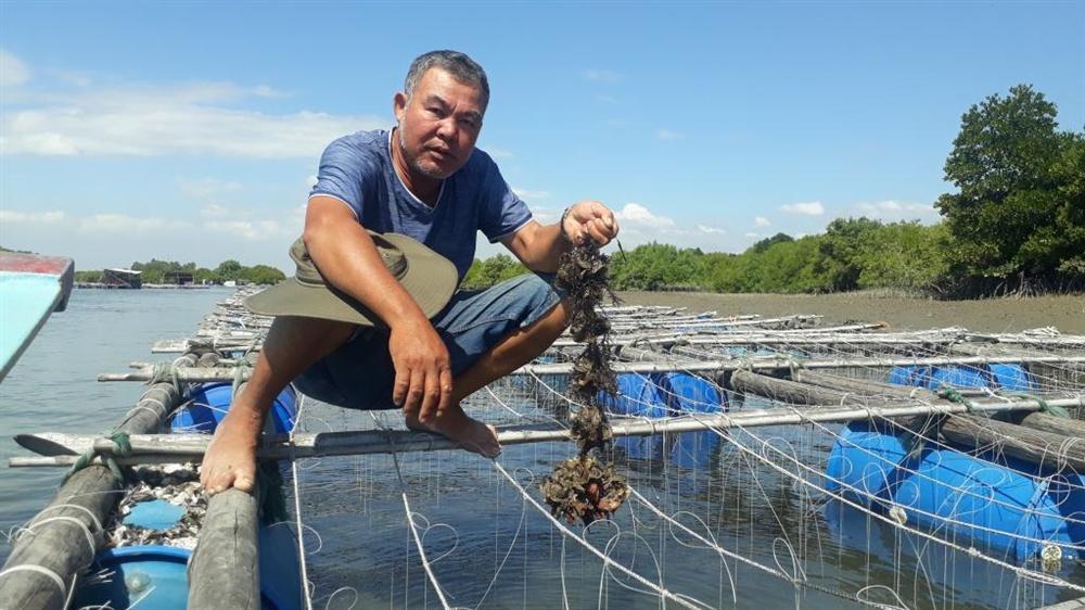 Liều nuôi loài hàu dễ chết sớm ở sông Cửa Lấp thu 4 tỷ/năm-4