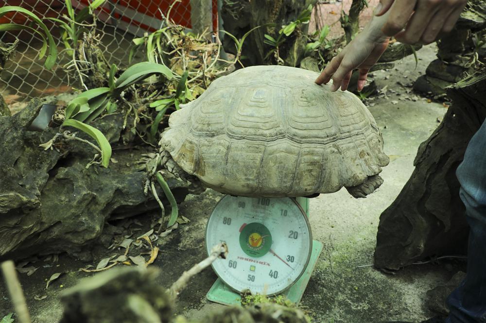Rùa cạn khổng lồ giá vài chục triệu chơi tết Nguyên đán-10