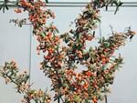 Đột nhập vườn nhất chi mai siêu hiếm ở Hà Nội-13
