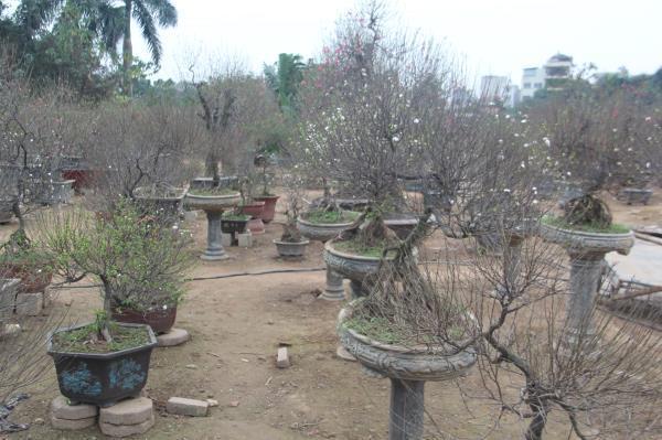 Đột nhập vườn nhất chi mai siêu hiếm ở Hà Nội-11