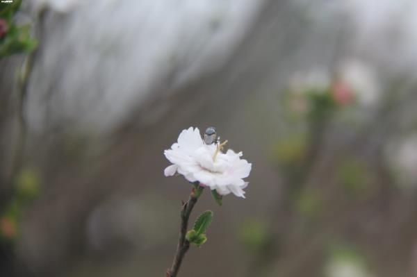 Đột nhập vườn nhất chi mai siêu hiếm ở Hà Nội-8