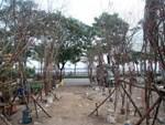 Vườn bưởi cảnh hồ lô độc đáo giá tiền triệu hút khách dịp Tết-12