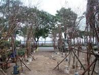 Đào rừng cổ giá cả triệu đồng rộn ràng khắp phố Hà Nội phục vụ Tết Nguyên đán