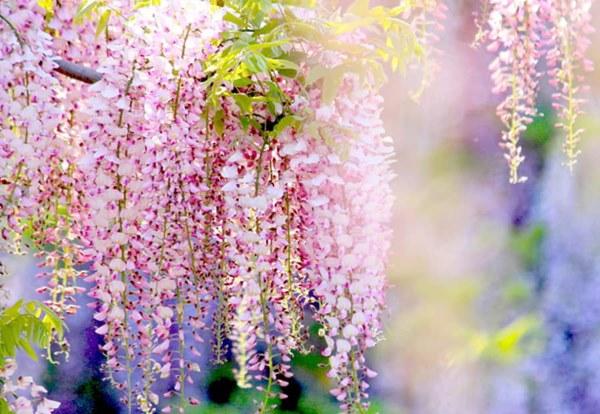Cận Tết, điểm danh lại những loại hoa đẹp rực rỡ nhưng phải hết sức thận trọng vì có thể khiến mất trí nhớ thậm chí gây chết người rất nhanh-3