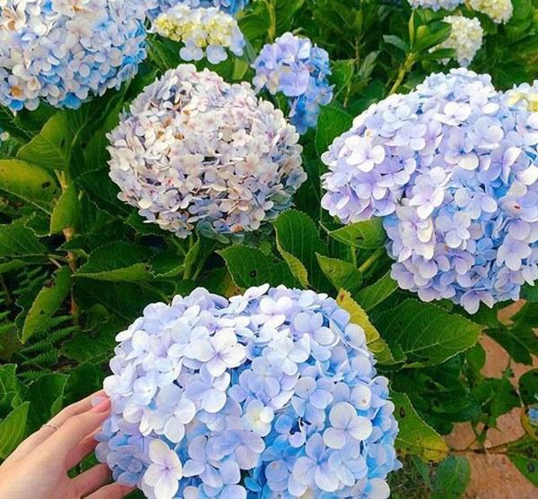Cận Tết, điểm danh lại những loại hoa đẹp rực rỡ nhưng phải hết sức thận trọng vì có thể khiến mất trí nhớ thậm chí gây chết người rất nhanh-5