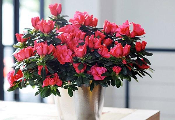 Cận Tết, điểm danh lại những loại hoa đẹp rực rỡ nhưng phải hết sức thận trọng vì có thể khiến mất trí nhớ thậm chí gây chết người rất nhanh-6