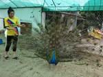 Thuần hóa chim công bằng nước muối, bán tới 80 triệu đồng 1 trống 3 mái-3