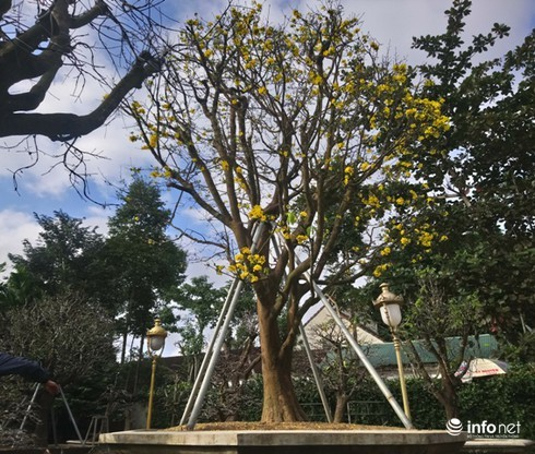 Cây hoàng mai trên 200 năm tuổi bung hoa vàng chóe, giá khoảng 5 tỷ-1