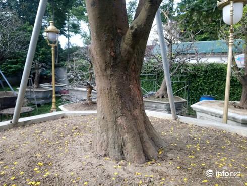 Cây hoàng mai trên 200 năm tuổi bung hoa vàng chóe, giá khoảng 5 tỷ-2