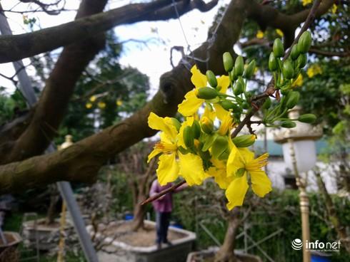 Cây hoàng mai trên 200 năm tuổi bung hoa vàng chóe, giá khoảng 5 tỷ-6