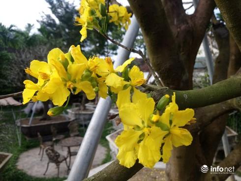 Cây hoàng mai trên 200 năm tuổi bung hoa vàng chóe, giá khoảng 5 tỷ-7