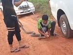 Rắn hổ mang chúa quấn chặt bụng thợ bắt rắn khi bị phát hiện-1