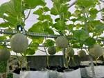 Lo thực phẩm bẩn, nhà giàu Hà Nội đua nhau thuê đất tự trồng rau ăn-4